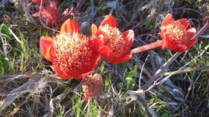 Struisbaai Flora